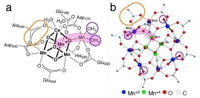 תרשים 2 (Fig 2) מציג את קומפלקס המנגן בטבע (משמאל) לעומת הקומפלקס שפיתחה פרופ'-משנה מעין. אפשר לראות שמוטיב המנגן-חמצן-מנגן-מים (צבוע בוורוד בתמונה), הממלא תפקיד חשוב בפעילות הקומפלקס בטבע, מופיע כמה פעמים בקומפלקס המלאכותי שפותח בטכניון. בנוסף, יוני המנגן בליבת הקומפלקס המלאכותי קשורים לקבוצות של חומצה אורגנית (מסומנת בעיגול צהוב בתמונה), שהן גם הקבוצות הקשורות ליוני המנגן בקומפלקס הטבעי. כמו כן, גם בקומפלקס המלאכותי וגם בטבעי יש מולקולות מים הקשורות בקשר חלש לחלק מיוני המנגן (מסומנות בעיגולים סגולים בתמונה), שהן המולקולות שאיתן הוא מגיב.